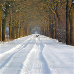 crossing the snow-covered path (atsjebosma) Tags: trees winter snow nature bomen path sneeuw pad thenetherlands natuur deer explore friesland snowcovered laan ree waitinginthecar explorefrontpage indeauto fochtelorveen january2010 atsjebosma effewachten crossingthepath hijstakover zagzeaankomen