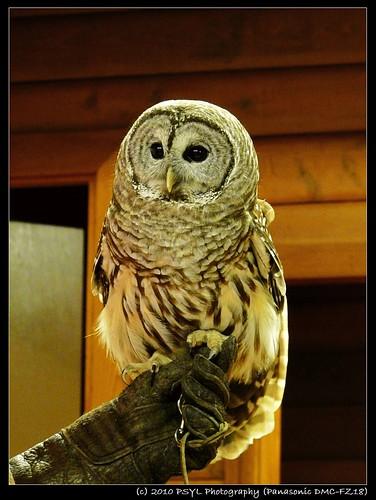 Jesse the Barred Owl (Strix varia)