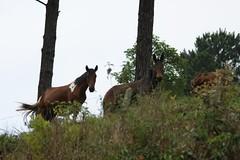 Cavalos (*Regis*) Tags: de burro jumento santana cavalo barueri parnaiba regilei