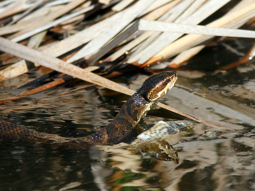 Cottonmouth 20100118