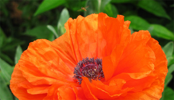 poppy-and-the-wasp