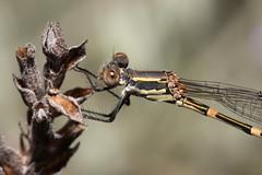 Damselfly close-up (kasia-aus) Tags: macro nature closeup insect eyes australia canberra damselfly act melba 2010