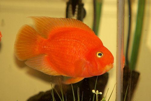 The blood parrot a guide to keeping a happy healthy for Blood parrot fish