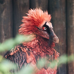 bearded vulture (iPhotograph) Tags: red bird animal wow zoo feathers hannover zoohannover bartgeier erlebniszoohannover beardedvulture gypaetusbarbatus 400mmf35ais