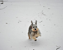 Chloe in a Hurry! (BKHagar *Kim*) Tags: dog snow dogs al nikon alabama chloe schnauzer running run athensal bkhagar nikond5000