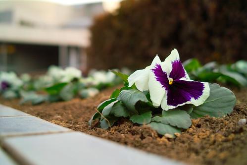 パンジー白紫