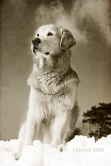 7/52 soul (Ciscolo) Tags: portrait dog snow texture sepia goldenretriever quote cisco sit 752 52weeksfordogs