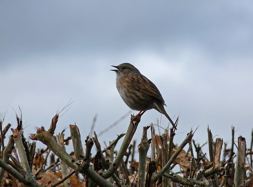 12015 - Dunnock at Pencarreg Lake