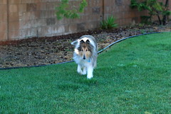 Prince (freeloosedirt) Tags: rescue dog green collie lawn prince lassie greengrass rescuedog mylawn lassiedog iwouldhavenamedhimsomethingotherthanprince mylawnisawesome wwwcollieorgprince1769