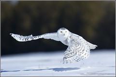 Owl (Snowy) - 1831 (Earl Reinink) Tags: raptor snowyowl snowyowlinflight earlreinink wwwearlreininkcom wwwipaintca