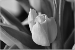 White tulip... (Julka2009...(mostly off)) Tags: flowers light bw beautiful closeup composition blackwhite spring details grain tulip 1001nights tqm 2010 d90 nikond90 flickraward nikonflickraward blackdaimond arkiesnaturegroup 1001nightsmagiccity ~~adminapproved~~