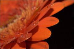 Orange Daisy (Ruud & Arianne NL) Tags: flower holland macro water netherlands droplets drops nikon aqua spray explore gerbera daisy nikkor waterdrops arianne bloem 50mmf18 druppels explored reversering d3000 wonderfulworldofflowers