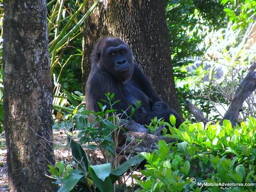IMG_3151-WDW-DAK-baby-gorilla