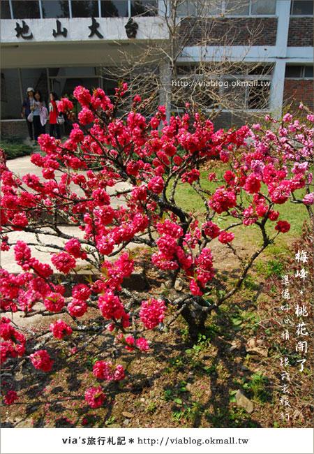 【梅峰農場桃花緣】最美的桃花隧道,就在南投梅峰這裡~(上)38