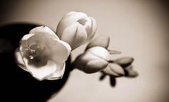 27, 365 (Mia ) Tags: flowers shadow roses brown black flower macro nature beauty sepia canon petal vase khalid manal 400d