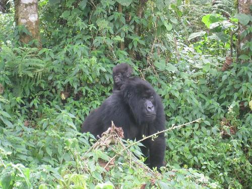 Mom and baby gorilla
