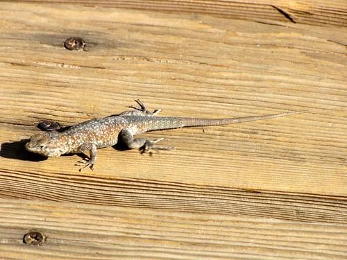 DV Lizard-2