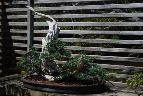 Morikami Bonsai