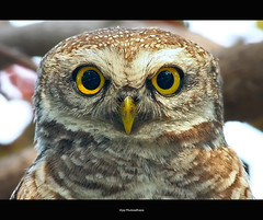 The Stare... {Explored} (Vijay..) Tags: vijay portrait bird nature canon zoom bokeh telephoto owl handheld xsi nagpur thelook 70300 naturesfinest 334 blueribbonwinner explored 450d phulwadhawa