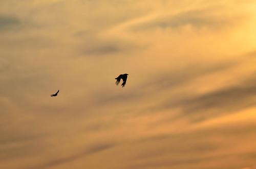 Blackbird Chasing Crow DSC_4871
