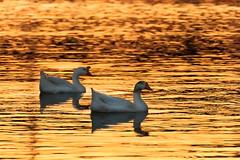 Swans at Sunset (ejmc) Tags: sunset orange lake water austin swan couple tx ladybirdlake 5dmk2