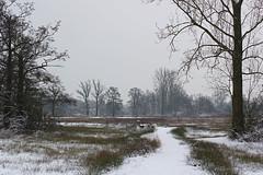 IMGP5506 (Henk de Regt) Tags: bos sneeuw natuur bomen riet landschap oerbos nederlandsenatuur beekbergerwoud klarenbeek veluwe forest snow nature trees reeds landscape virginforest dutchnature