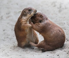 GO AWAY ! (babsbaron) Tags: präriehund prairie dog natur tiere animals