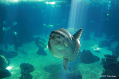 Mola Mola 2 (Nuno-Gomes) Tags: life light sea water aquarium interesting fantastic bestof underwater shot lisboa lisbon great best explore greatshot colored cave oceanarium oceanario nunogomes excelent thegalaxy oceanriodelisboa platinumheartaward 100commentgroup grouptripod artofimages updatecollection bestcapturesaoi mygearandmepremium mygearandmebronze mygearandmesilver mygearandmegold mygearandmeplatinum mygearandmediamond ngomes