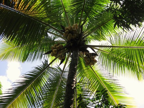 Under de Coconut Tree