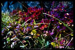 Haust á Þingvöllum (Þórdís Inga) Tags: blue red green grass leaves yellow fauna iceland purple thingvellir þingvellir ísland rautt gult blátt lauf almannagja almannagjá grænt fjólublátt laufblöð nikond40x nikonafsdxzoomnikkor1855mmf3556 1855mmnikkorafszoom