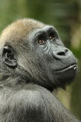 Gorilla 0012 (Jamie70) Tags: portrait toronto fur zoo eyes gorilla primate vr 70300 naturesfinest d90 specanimal abigfave platinumphoto sadiki