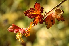 Autumn Leaves in the Light (beegardener) Tags: autumnleaves redriver redrivernewmexico inthesun naturesfinest autumnleaf inthelight northernnewmexico impressedbeauty autumninnewmexico