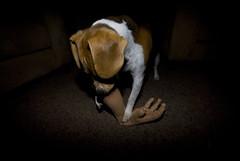 hold still (B_RadNel) Tags: beagle halloween arm chub off stump chewed