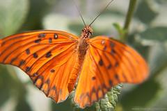 I´m back!!! (mario kojima) Tags: orange plant macro planta butterfly dof bokeh laranja borboleta