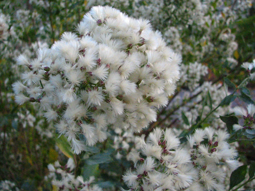 Groundselbush by treegrow, on Flickr