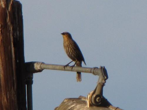 polebird