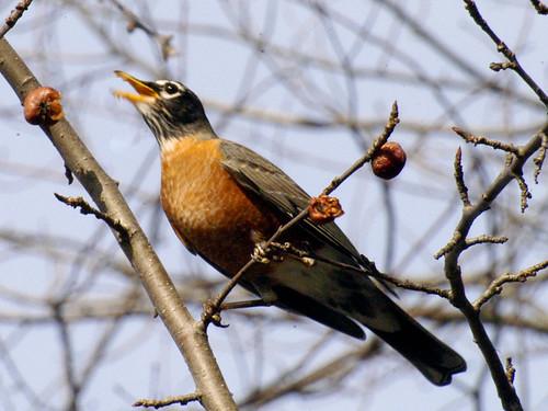 American Robins Sudbury River
