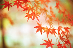 (rosemary*) Tags: red momiji f3 2009 solaris