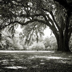 'Live Oak' Tree and Spanish Moss (Colin J Clarke) Tags: tree rolleiflex oak tmax liveoak spanishmoss hampton oaktree tessar ddx oldoaktree artlibre autaut bwoaktree southernoaktree colinjclarke oaktreebw