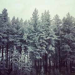 . (tsienni) Tags: forest sweden skog nordic sverige scandinavia wald fort jmtland  polaroin