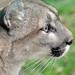 Lisa the Puma