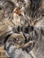 Tabby Twosome (BlueRidgeKitties) Tags: sleeping cat katie tabby browntabby mikesch cc1000 canonpowershotsx10is