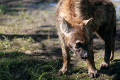 Growing Hyaena Cub