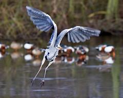 The Take Off (Andrew Haynes Wildlife Images) Tags: bird heron wings takeoff warwickshire avian brandonmarsh canon7d ajh2008