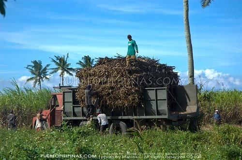 Harvesting Sugar