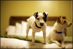 Thomas & Kylee (Bettina Woolbright) Tags: dogs jack 50mm russell bokeh 50mm14 terrier jackrussell bettina earthdog woolbright thelittledoglaughed bettinawoolbright bettinawoolbrightphotography