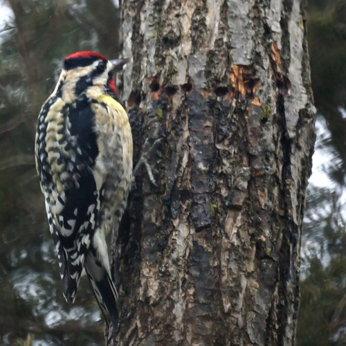 yellow-bellied sapsucker and holes