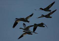 68EV0209 (sgbaughn) Tags: geese goose snowgeese snowgoose