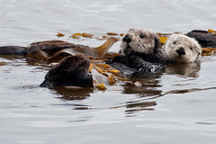 2 of 4 Sea Otter (Enhydra lutris) (marine mammal) Mother with Pup (mikebaird) Tags: sea mammal marine mother otter getty pup seaotter marinemammal gettyimages enhydra enhydralutris lutris 24jan2010