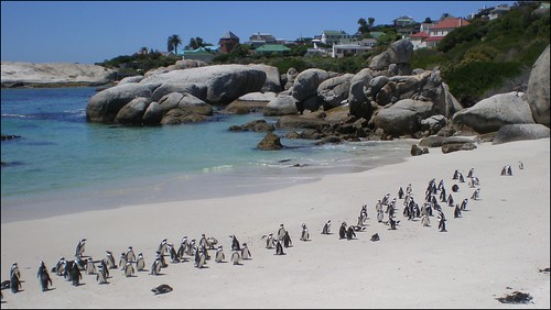 African penguins on Boulder's Beach in Cape Town, South Africa
